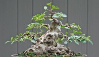 ficus-bonsai-tree3