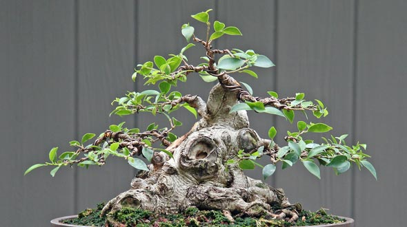 Watch How to Repot a Ficus Tree video