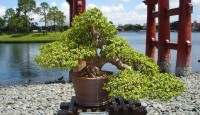 bonsai-jade-tree