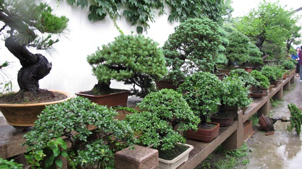 Bonsai Tree Care Tips Help How To Grow Prune And Care For Bonsai Trees